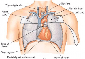 Image Of Heart Position